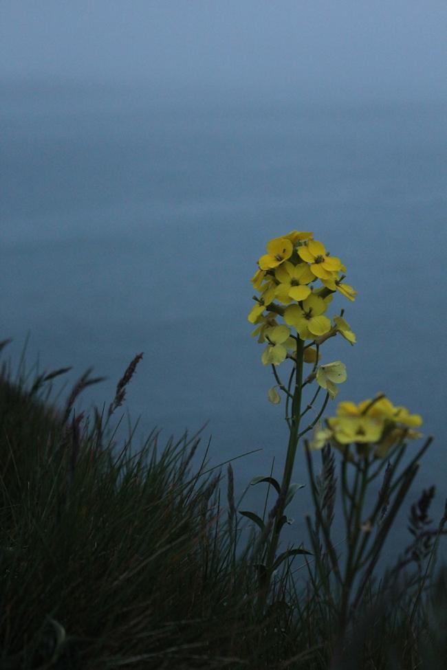 Flower on Whaler Island outside Crescent City Harbor, California.