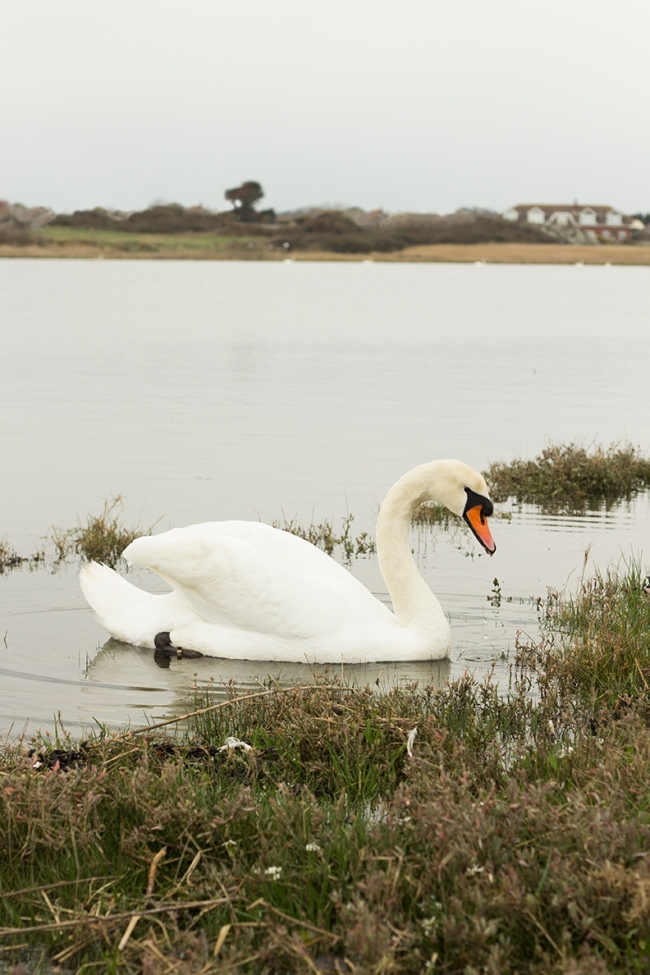 Swan at nature reserve near Newhaven, UK. By Jameson Gardner